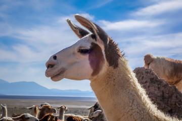 Poster Lama Lamas herd in Bolivia
