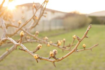 Brotes de manzano en invierno