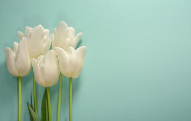 White tulips on a light turquoise background