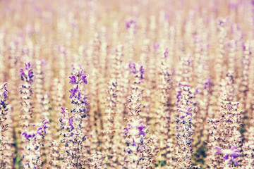 Lavender flowers in the field, photo filter