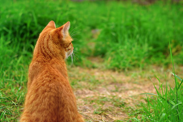 Cat sitting back to camera in green grass close-up. Red tabby cat outdoors, copy space