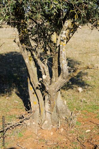 Tronco de viejo olivo immagini e fotografie royalty free for Acquisto piante olivo