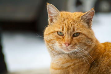 Red-headed cat is beautiful and smart