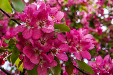 Spring flowering ornamental Apple trees. Wild Apple Nieddzwetzkyana.