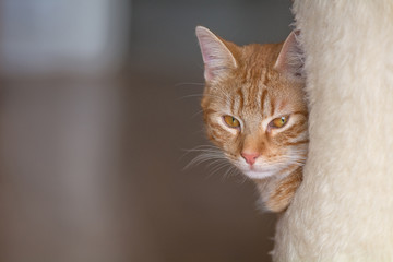 Eine orange Katze schaut aus einem Kratzbaum heraus