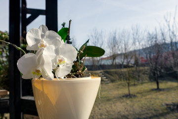 White orchids in pot on the terrace in the garden