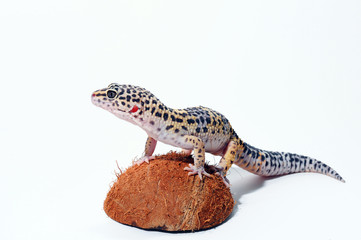 Eublepharis. Close-up of Cute leopard gecko (eublepharis macularius)