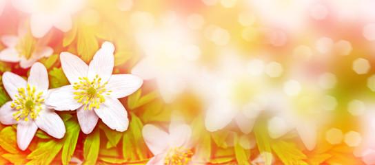 First spring snowdrop flower.