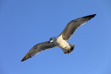 Flying seagull at blue clear sky