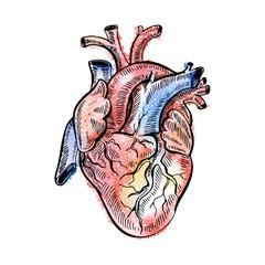 Hand drawing sketch anatomical heart. Doodle zentangle vector illustration.