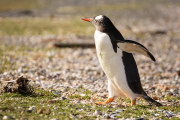 Portrait to Papua penguin on the gravel on the seashore