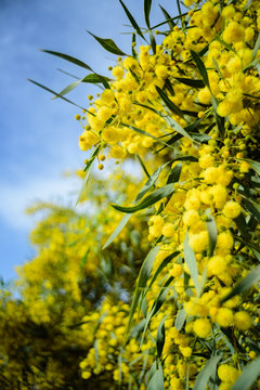Close up of yellow acacia tree on the nature