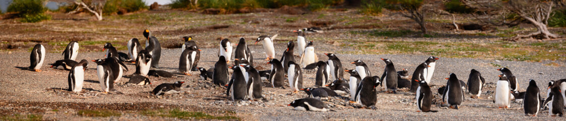 King and Papua penguin colony seaside