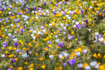 Crocuses in meadow