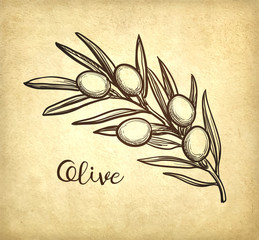 Vector illustration of olive branch.