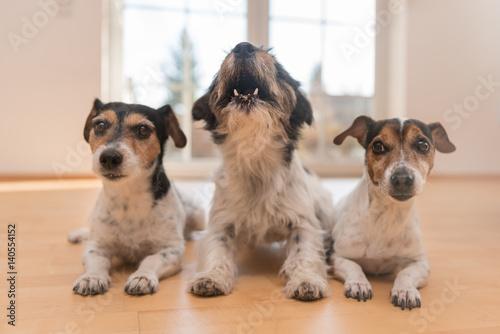 drei hunde machen platz in der wohnung und einer tanzt aus der reihe stockfotos und. Black Bedroom Furniture Sets. Home Design Ideas