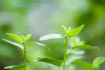 Fototapete - Caper bush