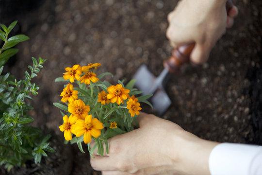 Hand planting marigold