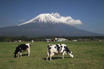 Herd of Cows Grazing, Mount Fuji in Background