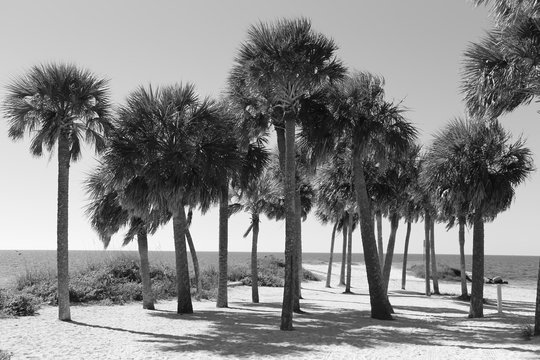 Palm Trees Black and White