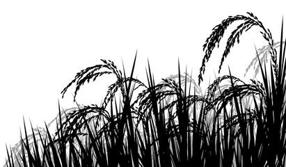 Rice ripe for harvest