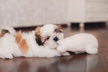 Funny looking Shih-tzu puppy playing