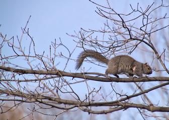 Squirrel hanging on barren winter tree branch in Chicago park