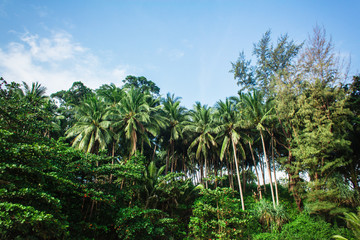 The palms in tropic forest. View to the green palms placed in the tropic jungle. Horizontal outdoors shot.