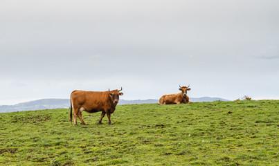 Vacas en pradera de montaña. Villafría, Concejo de Pravia, Asturias.