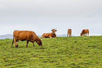 Vacas y ternero en pradera de montaña. Villafría, Concejo de Pravia, Asturias.