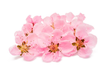 Pink peach flower isolated
