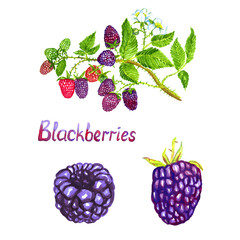 Blackberries branch with flowers ripe, green and pink berries, isolated set hand painted watercolor illustration