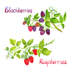 Raspberries and blackberries branches with flowers ripe pink and green berries, isolated set hand painted watercolor illustration