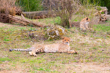 Cheetah , Acinonyx jubatus lying in green grass and looking at camera