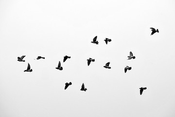 Flight of birds in the wild. Silhouette. Free. Freedom