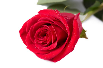 Red rose with drops on white
