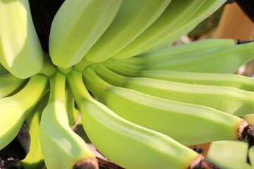 Young Bananas Growing from the Flower Stem