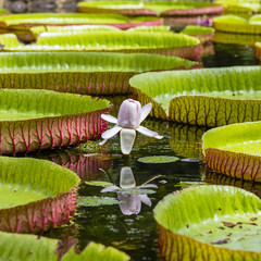 Giant water lily in Pamplemousse Botanical Garden. Island Mauritius