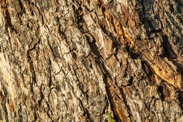 wooden Bark of tree texture