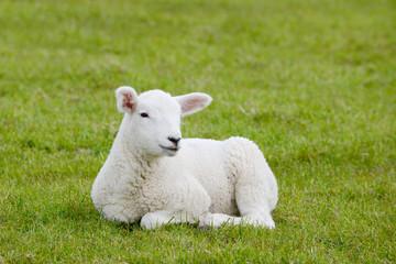 lamb lying on pasture
