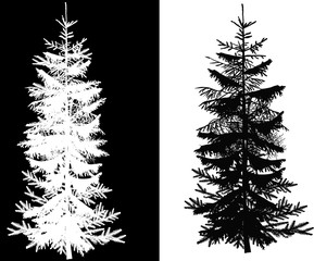 fir tree isolated on white and black background