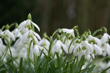 Close up big snowdrop against dark background with copy space