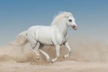 White welsh pony run gallop on sandy dust
