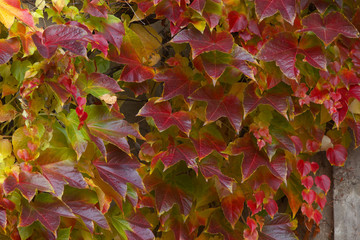 Detailed view of a creeping plant in autumnal colors