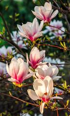 Magnolia flower blossom in spring