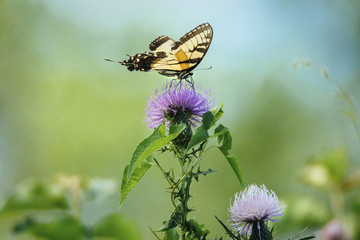 Close-up of butterfly pollinating on thistle flower