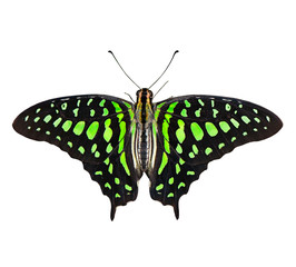 Butterfly (Graphium agamemnon) isolated on white background.