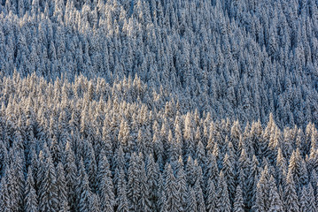 Snow covered trees in National Park Durmitor in Montenegro