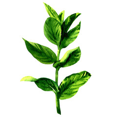 Branch of fresh raw green mint leaves, isolated, watercolor illustration on white