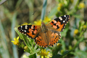 Delicate Painted lady butterfly in the garden under the morning sunshine